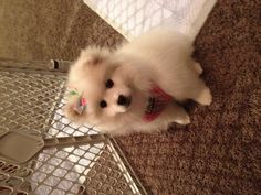 Loki the American Eskimo, she was just a puppy here!