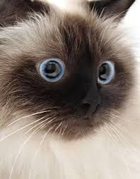 Image result for himalayan cat close up