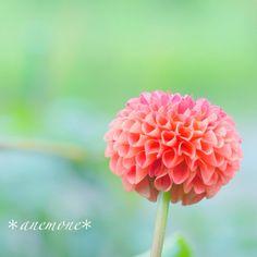 #ダリア#dahlia #ポンポンダリア #pompon dahlia #flower