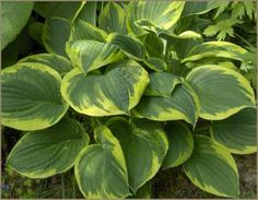 Fortunei Aureomarginata Hosta - this is like one of ours Hosta Plants, Foliage Plants, Shade Plants, Green Leaves, Plant Leaves, Plantain Lily, Heuchera, Exterior Remodel