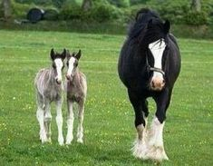 Twin draft horse foals by rhea