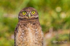 Photo: Those eyes  This Burrowing Owl has that quizzical look in his eyes as it observes the camera. Canon EOS 7D, EF300 f/4L IS USM, f/8, 1/1600, ISO 500 #animalia  #birds  #birdsgallery  #birdsinfocus  #birds4all  #birdsociety  #birdloversworldwide  #birdloversandwildlife  #birdlovers  #birdloversoftheworld  #canon  #canonphotography  #canonusers  #canonphotographers  #canon7d  #everglades  #floridaeverglades  #hqspbirds  #nature  #naturephotography  #natureandwildlife…