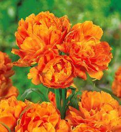 Tulipe à fleurs de Pivoine 'Mont Orange'