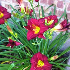 Daylilies mid June 2012
