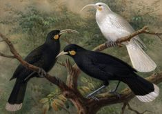 Three huia (Heteralocha acutirostris), circa London, by Johannes Keulemans. Purchased 1993 with New Zealand Lottery Grants Board funds. New Zealand Snow, Extinct Birds, Cryptozoology, Sea Monsters, Albino, Prehistory, Wood Engraving, Fabric Panels, Natural History
