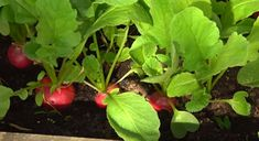 Cum puteți crește ridichi mari! - Pentru Ea Stuffed Peppers, Vegetables, Food, Plant, Stuffed Pepper, Vegetable Recipes, Eten, Stuffed Sweet Peppers, Veggie Food