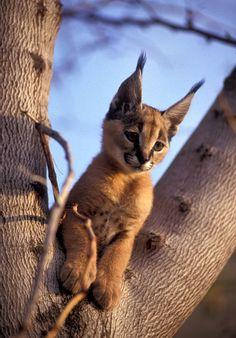 baby caracal