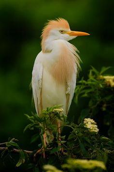 Cattle Egret by Ron McKitrick - Taken at the Aligator Farm, St. Augustine, FL  The bird is in breeding plumage. Click on the image to enlarge.