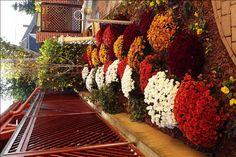Wonderful autumn colours- chrysanthemum mums flower bed, csodálatos ősz színek: krizantém ágyás