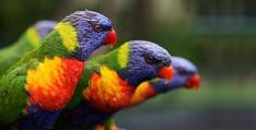 images of breeds of birds - Google Search
