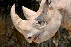 Rinoceronte Sudan