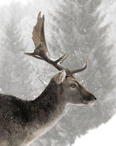 lovely deer side portrait in winter Amazing Animals, Animals Beautiful, Cute Animals, Wild Animals, Baby Animals, Photo Animaliere, Winter Magic, Winter Snow, Tier Fotos
