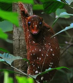 Sunda Colugo<<This animal is so weird yet so cool!Malayan flying lemur (huge membrane similar to flying squirrel, they Sunda Colugo<<This animal is so weird yet so cool!Malayan flying lemur (huge membrane similar to flying squirrel, they Bizarre Animals, Unusual Animals, Rare Animals, Animals And Pets, Funny Animals, Odd Animals, Exotic Animals, Rare Species Of Animals, Beautiful Creatures