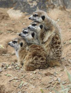 'My Meerkats'