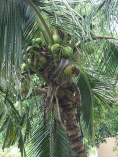Coconuts, Palm Tree, El Salvador