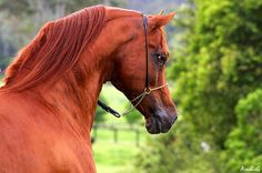 """This Arabian horse is not a bay but a chestnut!  Arabian horses have black skin so the black eyes and muzzle may look deceiving.  But the mane is not black!So the horse is NOT bay!   This chestnut color sometimes is classified as """"blood"""" or """"red"""" color. (This base chestnut color + bay gene would make a Blood Bay.)"""