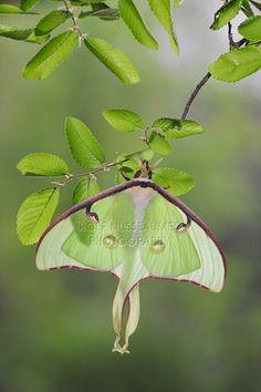 Luna Moth, Actias luna by © Rolf Nussbaumer Photography