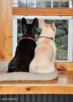 always together and always on guard, French Bulldogs.