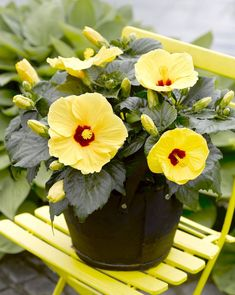Indoor Flowering Plants, Flower Pots, Potted Flowers, Hibiscus, Gardening Tips, Succulents, Exterior, Table Decorations, Orice