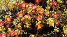สาละลังกา (ต้นลูกปืนใหญ่) Couroupita guianensis Aubl (Lecythidaceae), Cannon-ball Tree. พันธุ์ไม้.com: http://www.พันธุ์ไม้.com/สาละลังกา/   สาละลังกา เป็นไม้ยืนต้นขนาดย่อม สูงประมาณ 80 ฟุต ลำต้นตกสะเก็ดเป็นร่อง เปลือกสีน้ำตา