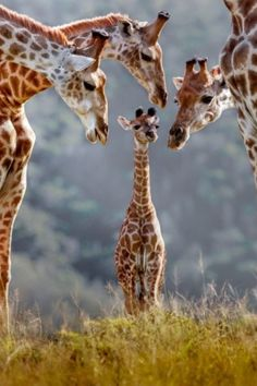 A new born giraffe is surrounded by its family. Kariega Game Reserve in South Africa