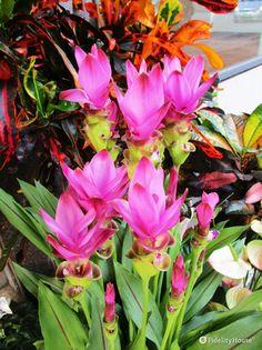 I fiori rosa della curcuma la rendono una bella pianta ornamentale.