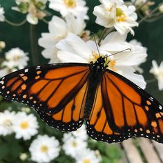 Butterfly kisses  #inaweofhiscreation#nofilter#monarch