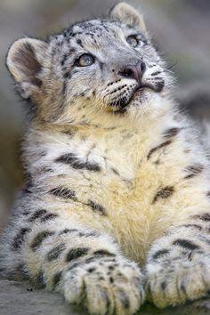 bigcatkingdom:  Snow leopard cub looking upwards by Tambako the Jaguar on Flickr.