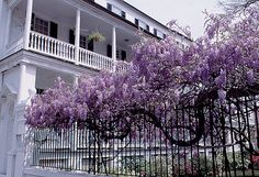 Meandering wisteria along a fence.