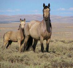 }{   Mustangs