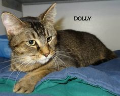 ADOPTED! Tag# 8574 Name is Dolly  Tiger  Female-spayed Sweet girl!   Located at 2396 W Genesee Street, Lapeer, Mi. For more information, please call 810-667-0236 Adoption hours are  M-F 9:30-12, 12:30-4:30, except Wednesday-closed at noon and open Saturday 9-2  https://www.facebook.com/267166810020812/photos/a.820048901399264.1073742140.267166810020812/820050061399148/?type=3&theater