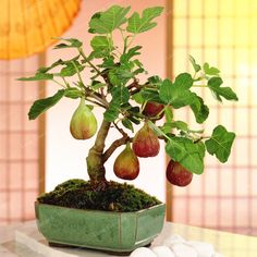 Bonsai trees can be sold at a vast price in the industry. Without the right size pot, a Bonsai tree cannot survive. Bonsai trees aren't grown for the aims of food manufacturing, medicinal uses, or for creating landscape. Plant is… Continue Reading → Bonsai Ficus, Bonsai Fruit Tree, Dwarf Fruit Trees, Indoor Bonsai Tree, Fig Tree, Trees To Plant, Mini Bonsai, Juniper Bonsai, Indoor Fruit Trees