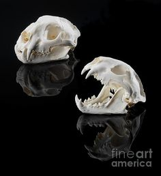 Mountain Lion Skulls  A photograph by Jerry McElroy