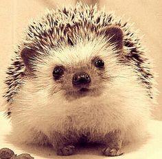 baby hedgehog pinterest igel tierbilder und babytiere. Black Bedroom Furniture Sets. Home Design Ideas