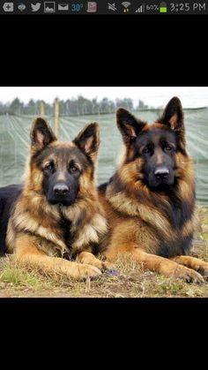 Gorgeous German Shepherds