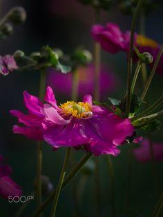 Blossoming pink Coreopsis flower in the summer evening garden. Coreopsis Flower, Planting Flowers, Summer Evening, Garden, Pink, Board, Plants, Flowers, Garten