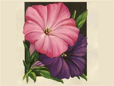 Trailing petunia plants are perfect for adding color and fragrance to window boxes and hanging baskets.