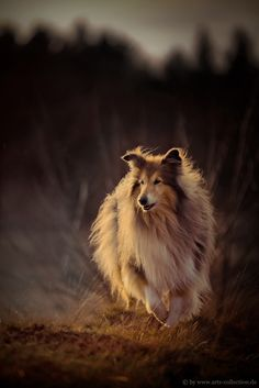 The Shetland Sheepdog originated in the and its ancestors were from Scotland, which worked as herding dogs. These early dogs were fairly Beautiful Dogs, Animals Beautiful, Cute Animals, Beautiful Pictures, Rough Collie, Collie Dog, Collie Puppies, I Love Dogs, Cute Dogs