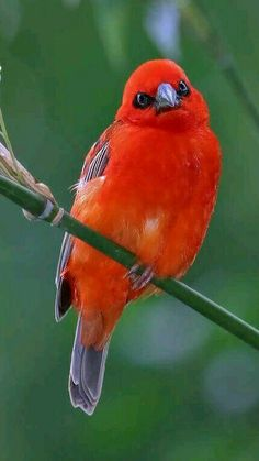 Gorgeous color on this stunning Red Fody bird.