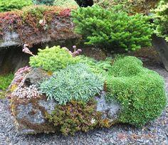 Conifer planted in a hypertufa trough - located in the Iseli Nursery display garden, Oregon
