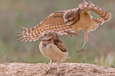 playful burrowing owl, Rod Palmer