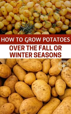 Not ready to put away the gardening supplies for the year? Here are some tips to continue growing potatoes through the cold season.