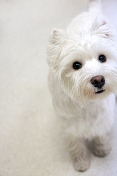 Westie- this could be a picture of Lily when her hair is just brushed!