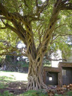 Beautiful tree on a friends farm, Portobello, Dunedin Comedy Stories, Portobello, Good Old, Short Stories, Childhood Memories, New Zealand, My Photos, How To Memorize Things, Author