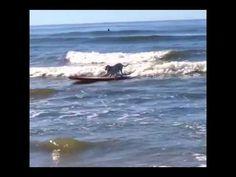 Ventura's surf dog. Ventura, California Video by www.instagram.com/haoleboysurfs