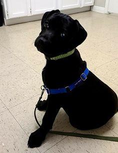 Bullboxer Pit dog for Adoption in Von Ormy, TX. ADN-547130 on PuppyFinder.com Gender: Male. Age: Young