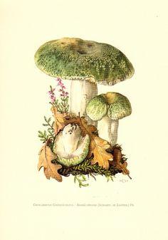 Mushrooms - greencracked brittlegill mushroom, rullula virescens, original vintage lithograph, 1963