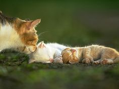 Mama Calico Cat Checking on Her Two Sweet Little Kittens.