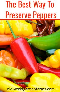 Kashmiri Chilli Peppers//Asian Curry//Vegetable Bulk 1000 Finest seeds