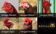 jengger ayam bangkok aduan Poker Online, Bangkok, Rooster, Animals, Animales, Animaux, Animal, Animais, Chicken
